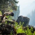 An osprey (Pandion haliaetus) hovers near a productive Selway fishing hole.- 10 Amazing Idaho Adventures