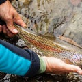 Rainbow trout on the McKenzie River.- Getting Started With Fly Fishing