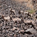 Bighorn sheep scrambling down to the John Day River for water.- Meet the Oregon Natural Desert Association