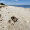 Remnants of the horseshoe crab migration at Slaughter Beach.- 10 Must-see Beaches Near the Chesapeake Bay