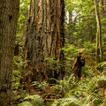 Giant old-growth trees inhabit Lighthouse Park.- Best Day Hikes near Vancouver, B.C.