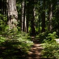 Prime Oregon old-growth along the McKenzie River Trail.- The Stately Serenity of Old-growth Forests
