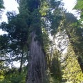 Big Tree in Prairie Creek Redwoods State Park is estimated to be 1,500 years old.- Exploring California's 9 National Parks