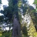 Big Tree Wayside.- Northern California Winter Road Trip