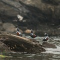 Harlequin ducks along the southern end of Lopez Island.- San Juan Islands