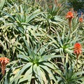 Aloe at Niguel Botanical Preserve.- Botanical Gardens Blooming Across the Country