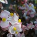 Begonia.- The Butchart Gardens