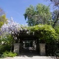 Wisteria on an arbor at Los Angeles County Arboretum.- Botanical Gardens Blooming Across the Country