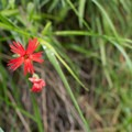 Fringed Indian pink (Silene laciniata).- 15 Incredible Adventures in L.A.