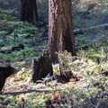 The Giant Forest is a great place to see black bears. - Destination Sequoia + Kings Canyon: A West Slope Itinerary
