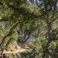Coast live oaks (Quercus agrifolia) along the Ewoldsen Trail in Julia Pfeiffer Burns State Park.- The Best of Big Sur: Hiking, Camping, Beaches, and Waterfalls