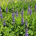 Sierra lupine (Lupinus grayi) on the Bear Lakes Loop.- Groves, riots, and Sundry Summer Flora Assemblies