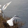 Egrets at San Elijo Lagoon.- Adventurer's Guide to San Diego