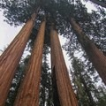 Giant sequoias of General Grant Grove.- Fire and Ice in Sequoia + Kings Canyon National Parks