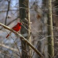 A northern cardinal stands out in the canopy along Indian Bayou.- Louisiana's Cypress and Sea