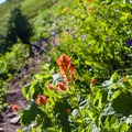 Indian paintbrush and other wildflowers in bloom on Mount Defiance.- 5 Amazing Hikes in the Alpine Lakes Wilderness