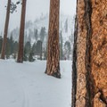 Ponderosa pines (Pinus ponderosa) on the way Eightmile Lake Trail.- Ski Bum Sweethearts' Best Romantic Getaways