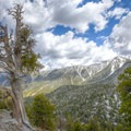 Bristlecone pines high in the Spring Mountains.- 11 Best Day Hikes Near Las Vegas
