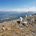 Mountain goats on the summit of Buffalo Mountain.- 35 Summit Views Worth Hiking For