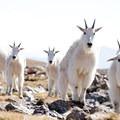Mountain goats on the summit of Buffalo Mountain.- 50 Amazing Colorado Adventures
