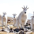 Mountain goats on the summit of Buffalo Mountain.- Best Hikes to See Mountain Goats