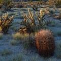 Barrel and cholla cacti. Anza-Borrego Desert State Park- Early Season Wildflower Exploration: California Super Blooms in 2017