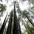 Redwoods scraping the sky in Redwood National and State Parks.- Redwood National + State Parks