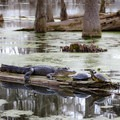 Given the right conditions, Champagne Cajun guides will lead tours through areas with some of the swamp's popular wildlife.- Louisiana's Cypress and Sea