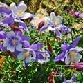 Rocky Mountain Columbine (Aquilegia saximontana).- 5 Incredible Hikes in Colorado's San Juan Mountains