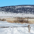 Keep your eyes peeled for coyote at Hart Mountain National Antelope Refuge.- National Wildlife Refuge System