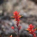 Indian Paintbrush at Crack in the Ground.- Crack In The Ground