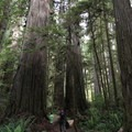 Boy Scout Tree Trail, Jedediah Smith Redwoods State Park.- Redwood National + State Parks