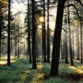 Ponderosa pine forest surrounds Flagstaff.- Weekend Adventure Guide to Flagstaff, Arizona