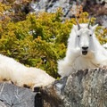 Emotive expressions of Blue Lake mountain goats.- Best Hikes to See Mountain Goats