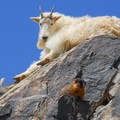 A mountain goat and a marmot.- Best Hikes to See Mountain Goats