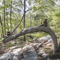 A bent tree at the lookout trail intersection along the Orange Vista Trail.- Outdoor Project Staff Picks: 10 Favorite Hikes in New England