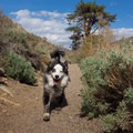 A happy, tired trail dog.- Dog Etiquette for Coastal Adventures