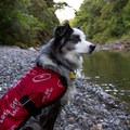 Kali is trying to decide if the river is too cold to go for a swim.- What's In Your Pack: Adventuring With Your Dog