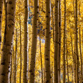 Aspen at the peak of fall color.- 5 Epic Hikes in the Sawatch Range + Elk Mountains