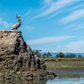 Pelican at Elkhorn Slough.- 16 Best Adventures for Viewing California Wildlife