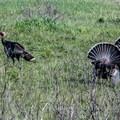 Wild turkeys in Harmony Headlands State Park.- The Best of San Luis Obispo