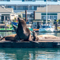 Sea lion mother and pup hanging out in the harbor.- Morro Bay Sea Otter Viewing
