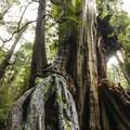 Big Cedar Tree.- Winter in Olympic National Park