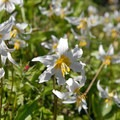 Avalanche lily (Erythronium montanum).- Groves, riots, and Sundry Summer Flora Assemblies