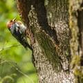 Red-breasted sapsucker (Sphyrapicus ruber) in Mount Talbert Nature Park.- Exploring Oregon Watersheds: Adventure Brews