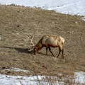 Elk in Yellowstone National Park. - The Wild Solitude of Winter in Yellowstone