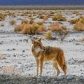 A coyote at Death Valley National Park.- Camping in Death Valley National Park