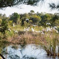 Egrets taking flight in Pinckney Island National Wildlife Refuge.- Adventure Guide to the Charleston Area