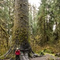 Hoh Rain Forest Big Sitka Spruce.- Winter in Olympic National Park