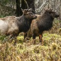 Roosevelt elk (Cervus canadensis) near Hoh Rain Forest Big Sitka Spruce.- Olympic Peninsula Waterfall Road Trip